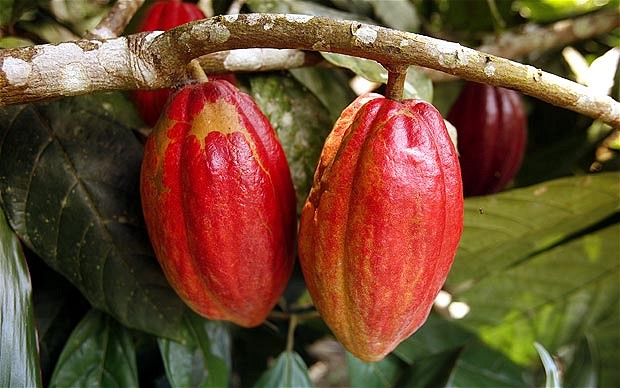 cocoa_fruits
